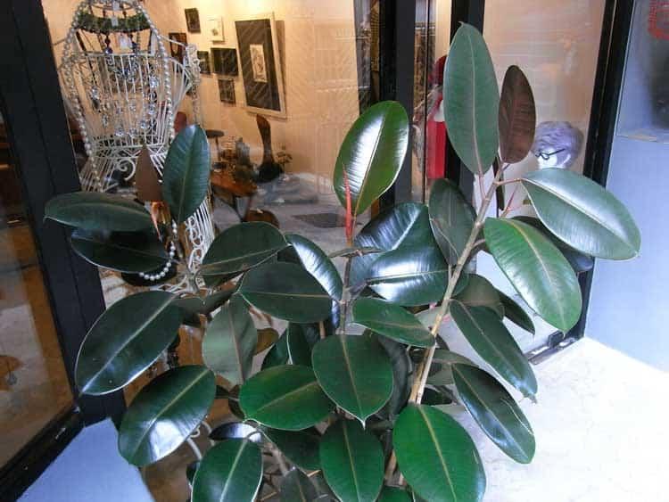 HK_Sheung_Wan_18_Po_Hing_Fong_barber_shop_Ficus_elastica_Indian_rubber_tree_Aug-2012
