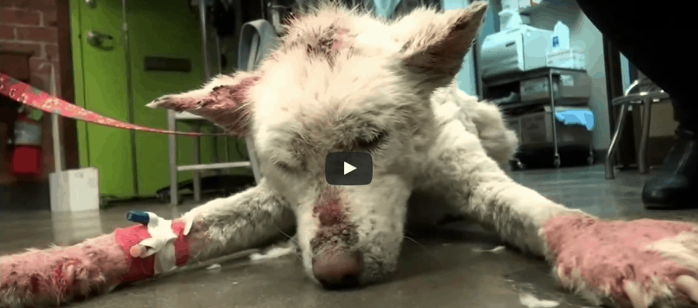 [Watch] Homeless Dog Living In Trash Pile Accepts Help, Now See Her Amazing Transformation!