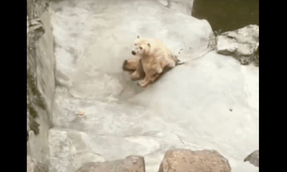 Disturbing Footage Shows Dirty Polar Bear Collapsing In Zoo Enclosure [Watch]