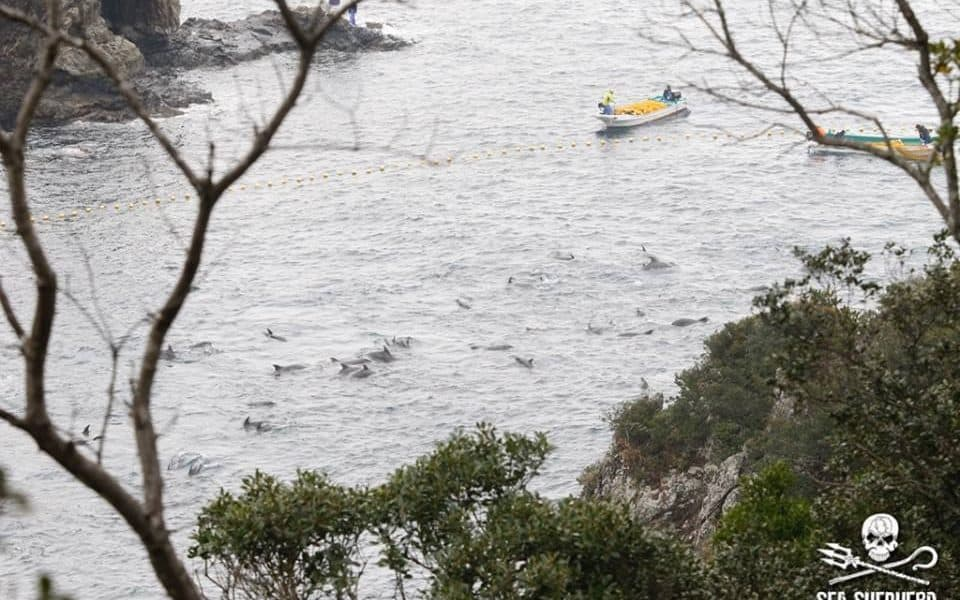 Hundreds Of Dolphins Trapped, Awaiting Infamous Annual Slaughter In Japan