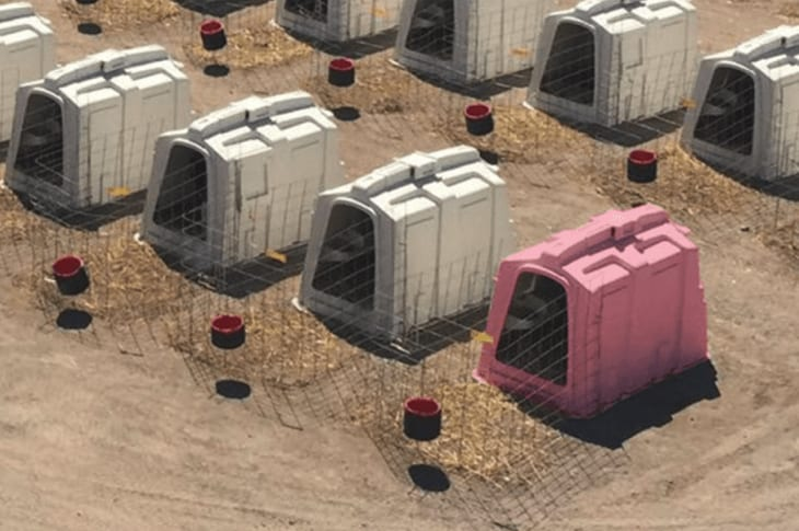 Pink Calf Hutches Made For Breast Cancer Awareness Month: Here's Why That's Wrong