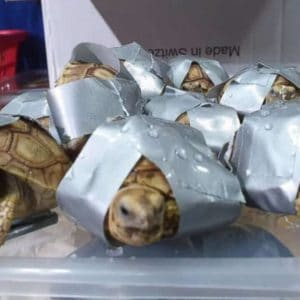 Over 1,500 Smuggled Turtles And Tortoises Were Found In Abandoned Suitcases At The Manila Airport