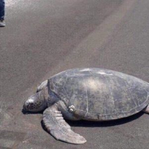 Green Sea Turtle Goes Back To The Same Nesting Beach To Lay Her Eggs And Finds A Newly-Built Runway Instead