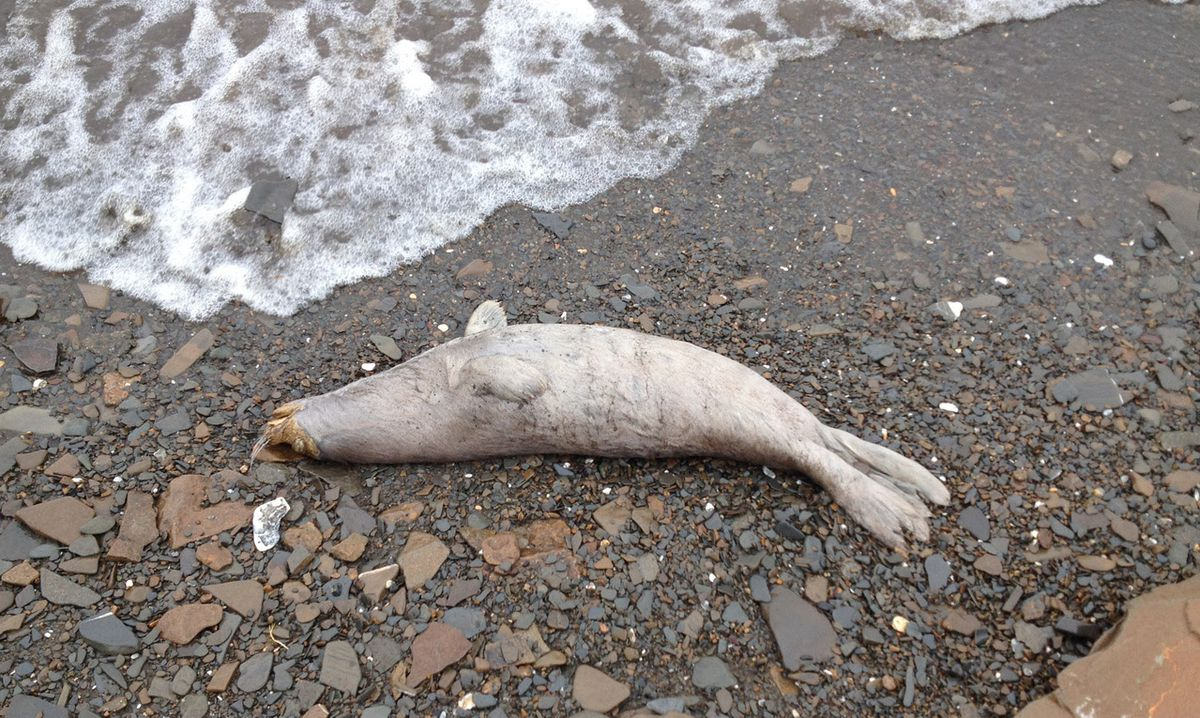 At Least 60 Ice Seals Have Been Found Dead All Throughout The Alaskan Coast And Scientists Are Trying To Figure Out Why
