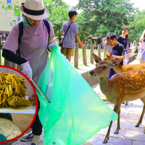 Plastic Bags And Food Wrappers Have Caused The Death Of 9 Sika Deer Living In A Sacred Sanctuary In Japan