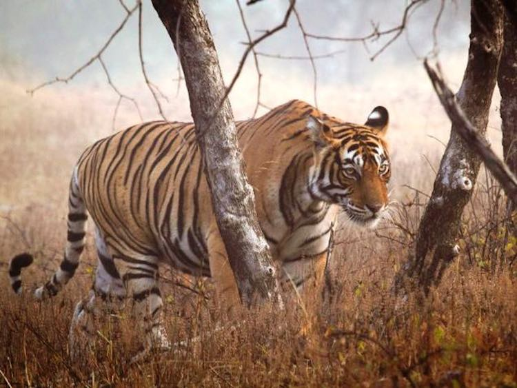 Nepal Has Almost Doubled Its Number Of Wild Tigers, Making Them The First Country To Reach Their Pledge To Protect This Species