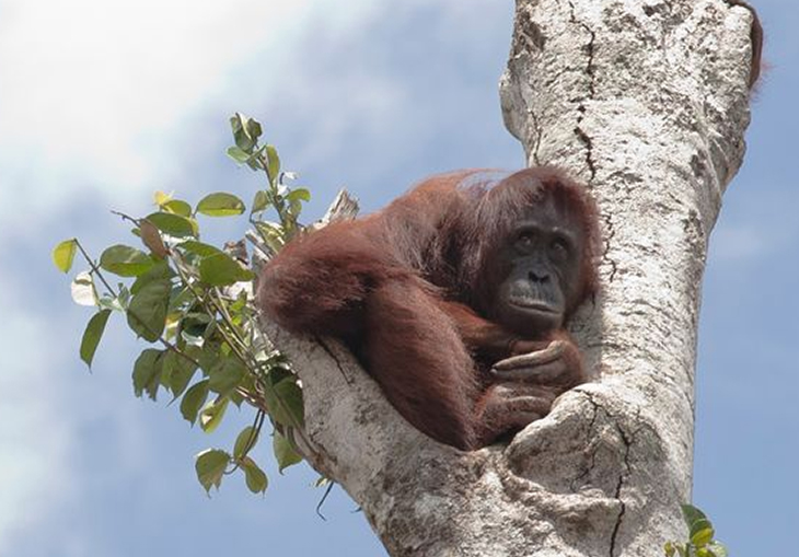 A Pregnant and Hungry Orangutan Has Been Spotted Holding On To The Last Tree Left While Bulldozers Ravage Her Home