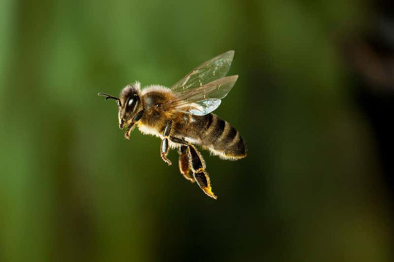 The Most Important Insect On The Planet – The Bee – Is On The Verge Of Extinction, Which Will End Humanity As Well