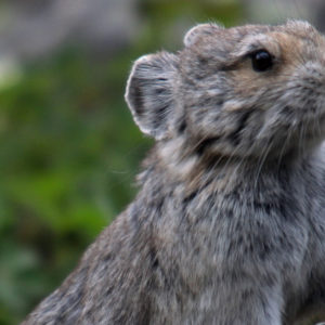 This Endangered Tiny Furry Animal Known As 'Magic Rabbit' Was Photographed In China After 20 Years Of Elusivity